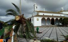 El picudo rojo acaba con las tres palmeras que quedaban en el santuario de Fregenal