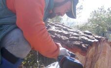 Un gusano amenaza los bosques de coníferas en España