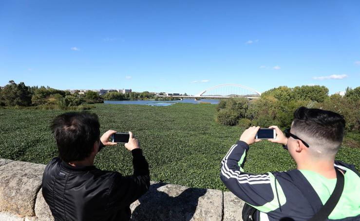 El camalote vuelve al tramo urbano del río en Mérida