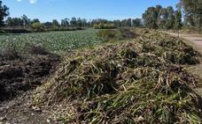 La Confederación venderá el camalote para hacer biogás, biomasa o celulosa