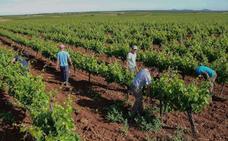 Publicada la normativa para la concesión de nuevos viñedos