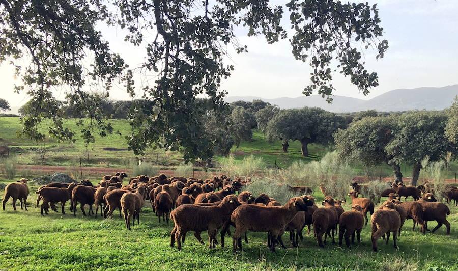 Una 'caravana' de ovejas negras realizará la trasterminancia acompañada por siete artistas