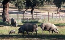 La Junta llama a la concienciación para evitar la llegada de la peste porcina