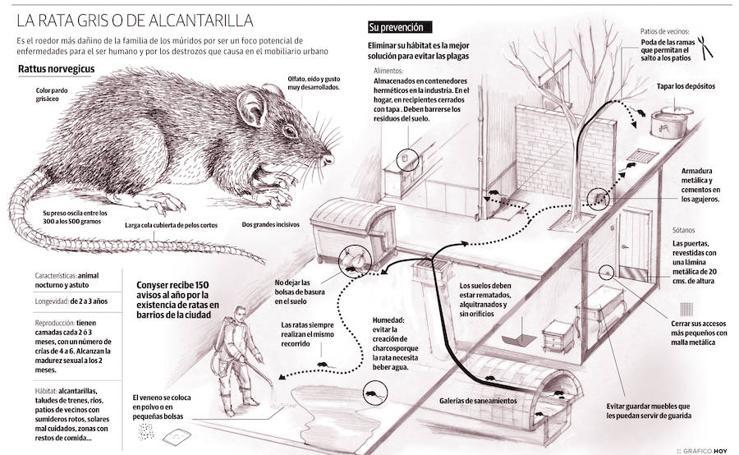 La rata gris o de alcantarilla