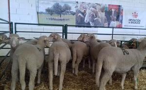 La Diputación de Badajoz subastará 43 cabezas de ganado ovino merino en la Feria Agroganadera de Trujillo