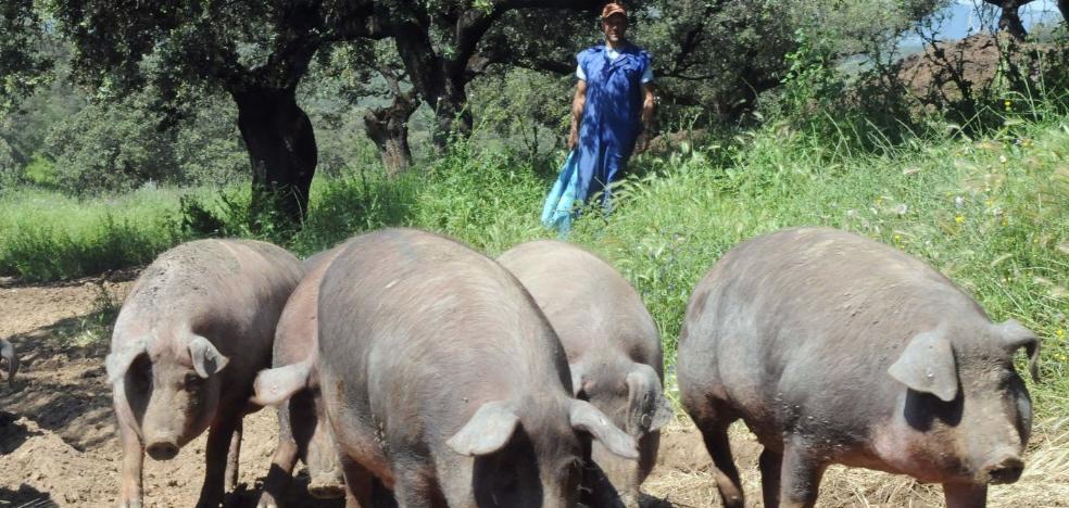 Extremadura pide menos burocracia en la reforma de la norma del ibérico