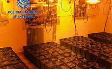 Intervienen 321 plantas de marihuana en Mérida