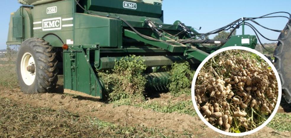 El cacahuete procesado en las Vegas Bajas pone rumbo a Europa