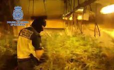 Desmantelada una plantación de marihuana con más de mil plantas en Badajoz