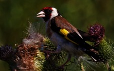 El plazo para registrar aves fringílidas se amplía hasta el 31 de diciembre