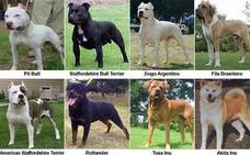 Extremadura cuenta con casi 9.000 perros de razas peligrosas registrados