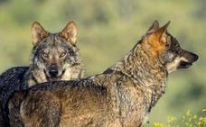 Los ganaderos de Ávila adelantan la trashumancia a Extremadura por los ataques de lobos