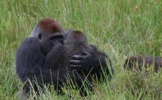 Reciclar el viejo teléfono móvil puede ayudar a salvar a poblaciones de gorilas