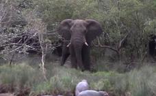Elefante vs bebés hipopótamos