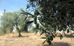 Herido un hombre de 58 años tras caer de un olivo en la localidad cacereña de Albalá