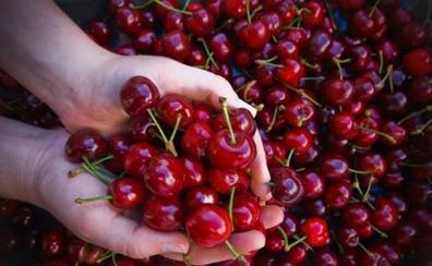 La Unión promueve un plan de reestructuración del cultivo de la cereza