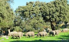 Dehesa de Extremadura inscribe 10.000 cerdos ibéricos menos que el año pasado