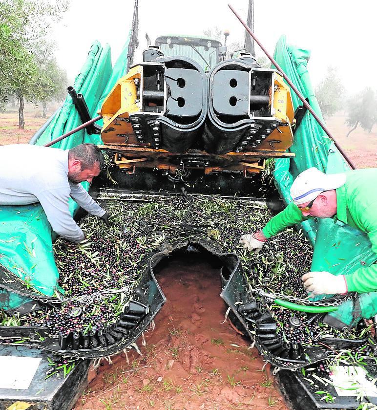 El aceite de oliva extremeño gana mercado por su calidad