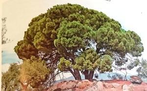 Tratan de evitar la tala de un árbol ejemplar en Losar de la Vera por un tendido