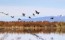 Más de 133.600 grullas europeas eligen Extremadura para invernar