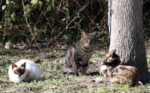 El Consistorio y asociaciones animalistas controlarán las colonias de gatos