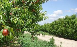 La Unión exige a la Junta un plan para arrancar 500 hectáreas de melocotón y nectarina