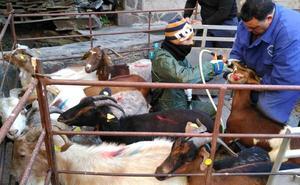 La Diputación de Cáceres compra el último rebaño de cabras jurdanas para su reproducción y mejora genética