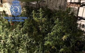 Arrestado por el cultivo de 307 plantas de marihuana en Mérida