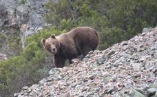 El cambio climático puede diezmar a los osos pardos en la cordillera cantábrica