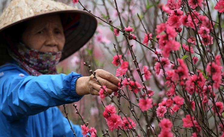 Melocotoneros en flor en Hanoi