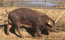 El Censyra reanuda las subastas de ganado porcino de raza duroc con 25 ejemplares