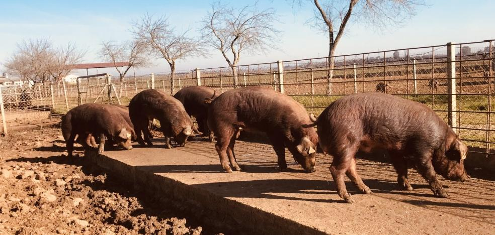 El Censyra recupera las subastas de porcino de la raza Duroc