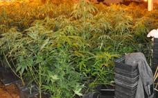 Detienen a dos jóvenes por cultivar cerca de 700 plantas de marihuana en una nave de Mérida