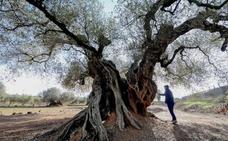 Olivos en el destierro