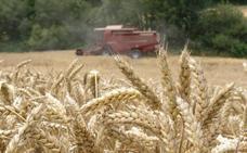 La superficie cultivada de cereal será este año similar a la de 2018