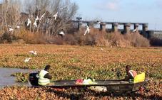 Portugal debate el uso de herbicidas para eliminar el camalote
