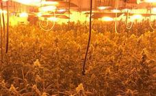 La Policía incauta un millar de plantas de marihuana en una parcela de Mérida