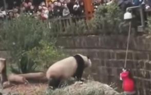 Caída a la casa de los pandas