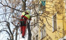 Poda de árboles y talas selectivas en la cacereña calle Sanguino Michel