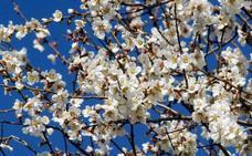Garrovillas de Alconétar celebra este sábado su Fiesta del Almendro en Flor
