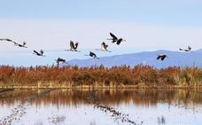 Extremadura es la principal zona de invernada de las grullas