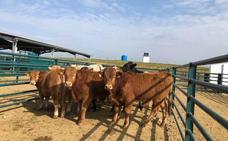 La cabaña bovina ha crecido en más 100.000 cabezas en los últimos cuatro años
