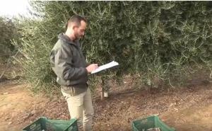¿Es rentable el olivar superintensivo en la región?