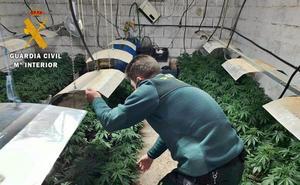 Desmanteladas dos plantaciones de marihuana en Solana de los Barros y Nogales