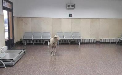 Una oveja desorientada acaba en la estación de tren de Villanueva