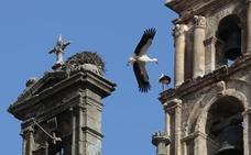 Las cigüeñas impiden abrir al público una ruta por las cubiertas de la catedral de Plasencia