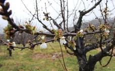 El Jerte mostrará el nivel de floración de sus cerezos desde este martes a través Internet