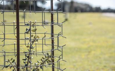El arbusto espinoso artificial que ayuda a repoblar la dehesa