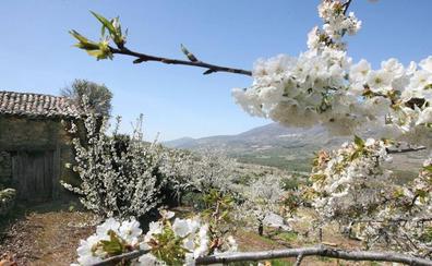 El Valle del Jerte lanza un concurso de vídeos para promocionar el Cerezo en Flor