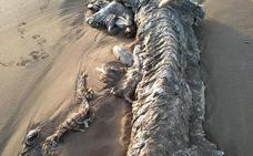 El animal marino de Islantilla que intriga al CSIC